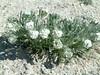 Roundspike cryptantha - Cryptantha humilis (CRHU2)