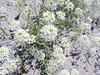 Mountain pepperweed - Lepidium montanum (LEMO2)