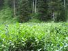 Columbian monkshood - Aconitum columbianum (ACCO4)