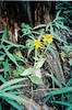 Spearleaf arnica - Arnica longifolia (ARLO6)