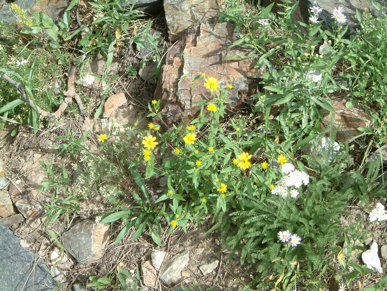Showy goldeneye - Heliomeris multiflora (HEMU3)