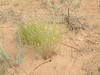 Bristle flax - Linum aristatum (LIAR3)