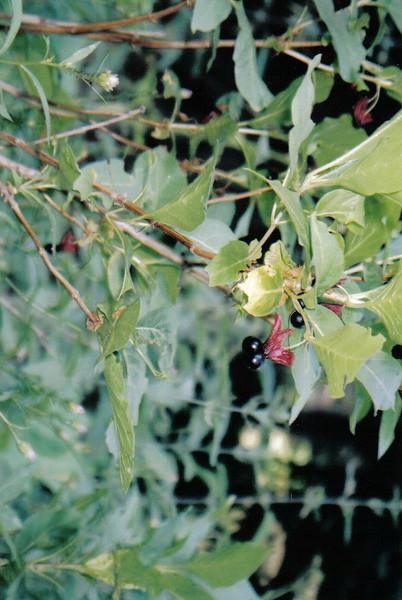 Twinberry Honeysuckle - Lonicera involucrata (LOIN5)