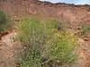 Button brittlebush - Encelia resinifera ssp. resinifera (ENRER)