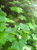Thimbleberry - Rubus parviflorus (RUPA)