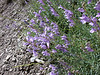 Littlecup beardtongue - Penstemon sepalulus (PESE13)
