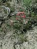 Northwestern Indian paintbrush - Castilleja angustifolia var. flavescens (CAANF)