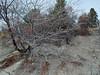Chokecherry - Prunus virginiana (PRVI)