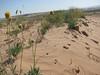 Navajo tea - Thelesperma subnudum (THSU)
