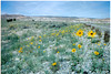 Prairie sunflower -  Helianthus petiolaris (HEPE)