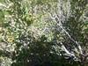 Spiny hopsage - Grayia spinosa (GRSP)