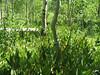 California false hellebore - Veratrum californicum (VECA2)