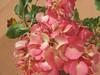 Smallflower sandverbena - Tripterocalyx micranthus (TRMI6)