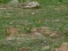 Yellow fritillary - Fritillaria pudica (FRPU2)