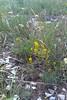 Tolmie's owl's-clover - Orthocarpus tolmiei (ORTO)