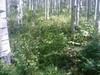 Red baneberry - Actaea rubra (ACRU2)