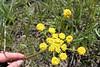 Fernleaf licorice-root - Ligusticum filicinum (LIFI)