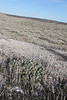 Valley saltbush - Atriplex cuneata ssp. cuneata (ATCUC)