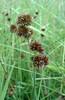 Swordleaf rush - Juncus ensifolius (JUEN)