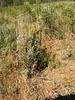 Ericameria x bolanderi (ERBO9)
