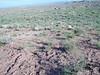 Utah sweetvetch - Hedysarum boreale ssp. boreale (HEBOB)