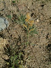 Threenerve goldenrod - Solidago velutina (SOVE6)