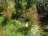 European water plantain - Alisma plantago-aquatica (ALPL)