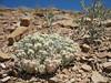 Shockley's buckwheat - Eriogonum shockleyi (ERSH)