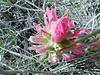 Northwestern Indian paintbrush - Castilleja angustifolia (CAAN7)