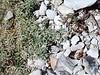 Spiny milkvetch - Astragalus kentrophyta (ASKE)