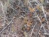 Orpine stonecrop - Sedum debile (SEDE)