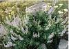 Tailcup lupine - Lupinus caudatus (LUCA)