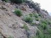 Utah sweetvetch - Hedysarum boreale (HEBO)