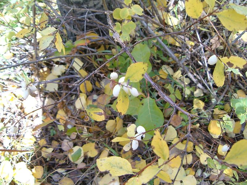Mountain snowberry - Symphoricarpos oreophilus (SYOR2)