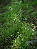 Miner's lettuce - Claytonia perfoliata (CLPE)