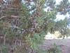 Utah juniper - Juniperus osteosperma (JUOS)