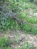 Tobacco root - Valeriana edulis (VAED)