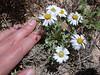 Hoary Townsend daisy - Townsendia incana (TOIN)