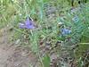 American vetch - Vicia americana (VIAM)