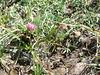 Alpine clover - Trifolium dasyphyllum (TRDA2)