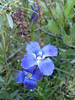 Rocky mountain fringed gentian - Gentianopsis thermalis  (GETH)