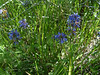 Littleflower penstemon - Penstemon procerus (PEPR2)