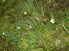 Alpine shootingstar - Dodecatheon alpinum (DOAL)