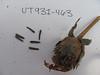 Mule-ears - Wyethia amplexicaulis (WYAM)