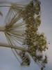 Common cowparsnip - Heracleum maximum (HEMA80)