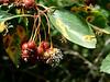 Black hawthorn - Crataegus douglasii (CRDO2)