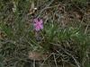 Longleaf phlox - Phlox longifolia (PHLO2)