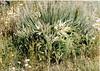 Meadow thistle - Cirsium scariosum (CISC2)