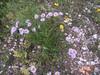 Aspen fleabane - Erigeron speciosus (ERSP4)