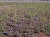 Bigelow's tansyaster - Machaeranthera bigelovii var. commixta (MABIC); Slender cinquefoil - Potentilla gracilis var. fastigiata (POGRF2); Letterman's needlegrass - Achnatherum lettermanii (ACLE9); Slender wheatgrass - Elymus trachycaulus (ELTR7)